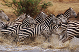 Zebras Running Photographic Print by John Conrad