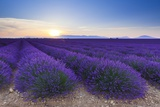 Lavender Field in Bloom at Sunrise Photographic Print by Frank Lukasseck