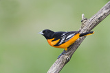 Baltimore Oriole (Icterus Galbula), during Spring Migration, Rondeau Provincial Park, Ontario, Cana Photographic Print by Ethan Meleg
