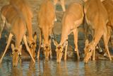 Several Impalas Drinking at a Watering Place (Botswana) Photographic Print by Theo Allofs