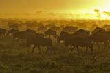 Herd of Wildebeest at Sunrise Photographic Print by Winfried Wisniewski