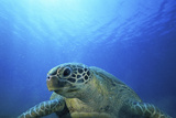 Green Turtle, Vanuatu Photographic Print by Tobias Bernhard