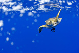 Underwater View of Green Sea Turtle in Hawaii Photographic Print by Paul Souders