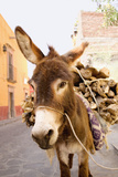 Donkey with Load of Firewood Photographic Print by Tracy Kahn