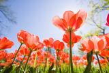 Tulips Stampa fotografica di Frank Lukasseck