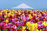 Mt.Hood over Tulips Field, Wooden Shoe Tulip Farm, Woodburn Oregon. Have Property Release. Photographic Print by Craig Tuttle