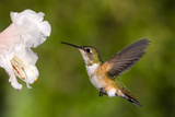 Rufous Hummingbird, Canada. Photographic Print by Tim Zurowski