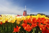 Tulips Field, Wooden Shoe Tulip Farm, Woodburn Oregon. Have Property Release. Photographic Print by Craig Tuttle