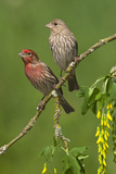 Male and Female House Finches (Carpodacus Mexicanus) on Plum Blossoms at Victoria, Vancouver Island Photographic Print by Tim Zurowski