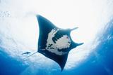 Manta Ray Fotografisk tryk af Stuart Westmorland