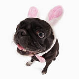 Black Pug Dressed with Bunny Ears and Bow Tie Photographic Print by Martin Harvey