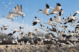 Snow Geese and Sandhill Cranes Photographic Print by Ralph Clevenger