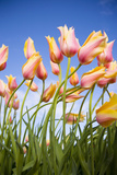 Pink and Yellow Tulips Photographic Print by Craig Tuttle