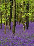 Bluebells (Hyacinthoides Non-Scriptus) in a Beech Wood (Fagus Sylvatica), West Stoke, West Sussex, Photographic Print by Pearl Bucknell