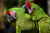 Military Macaws Preening One Another Photographic Print by Wolfgang Kaehler