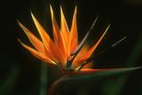 Strelitzia Reproduction photographique par Martin Harvey
