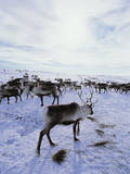 Reindeer Herd Gathering in Snow Photographic Print by Andy Whale