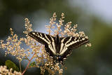 Pale Swallowtail Butterfly, Canada Photographic Print by Tim Zurowski