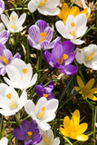 White Crocus Giant Mixed Assorted Colours Crocus Vernus, Montreal, Quebec, Canada Photographic Print by Roderick Chen