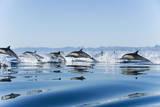 Common Dolphin (Delphinus Delphis) Gulf of California Mexico. Photographic Print