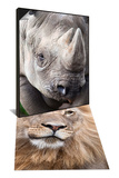 Male Lion, Addo National Park, South Africa & Captive Black Rhino Native to Africa Set Posters by Ann & Steve Toon