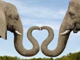 Elephants Making Heart Shape with Trunks Photographic Print by Dianna Sarto