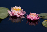 Water Lily, Canada. Photographic Print by Tim Zurowski