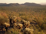 Cacti in the Sonoran Desert Photographic Print by David Muench