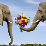 Elephant Giving Bouquet Photographic Print by Dianna Sarto