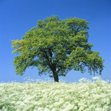Oak Tree in Blossoming Chervil Meadow Photographic Print by Gerolf Kalt