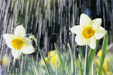 Rain falling on Daffodils Photographic Print by Roy Morsch