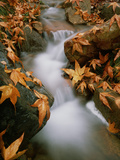 Sycamore Leaves by Rushing Stream Photographic Print by David Muench