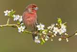 House Finch (Carpodacus Mexicanus) on Flowering Plum Tree Branch, Victoria, Vancouver Island, Briti Photographic Print by Tim Zurowski