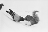 Pigeon Taking Nut from Squirrel on Snowy Day Photographic Print by David Hume Kennerly