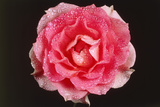 Rose in Front of a Black Background Photographic Print by Klaus Hackenberg