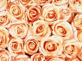Roses Photographic Print by Gregor Schuster