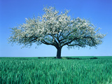 Blossoming Tree in Field Photographic Print by Herbert Kehrer