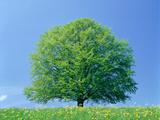 Beech Tree in Springtime Photographic Print by Gerolf Kalt