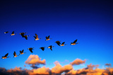 Canada Geese Flying at Sunrise Photographic Print by Chase Swift