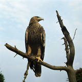Imperial Eagle Resting on a Branch Fotografiskt tryck av Philip Gendreau