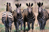 Herd of Zebras Photographic Print by Reed Kaestner