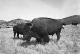 Bison in Wildlife Refuge Photographic Print by Philip Gendreau