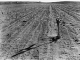 Withered Corn Photographic Print by Arthur Rothstein
