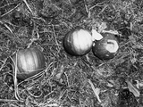 Pumpkin with Microfilms at Farm Photographic Print