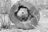Groundhog in Hollow Log Photographic Print