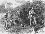 Workers Cutting Sugar Cane Photographic Print