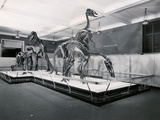 View of Tyrannosaur Skeletons in Museum Photographic Print