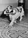 Cocker Spaniel Carrying Papers Photographic Print