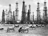 Cows Grazing near Oil Wells Photographic Print