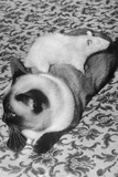 Cat and Rat Lying Together Photographic Print